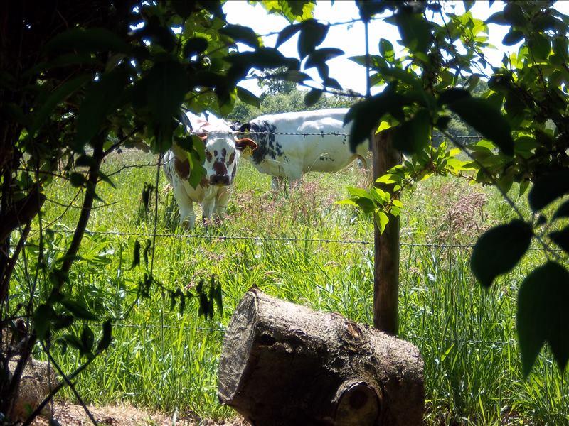 Uitzicht op de koeien vanaf de camping